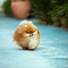 Majestic Round Pommeranian - blowing in the wind