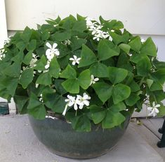 large indoor shamrock plant - Google Search