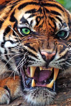 Wild Animals 382946774542582728 - Sumatran Tiger Source by agnesviopaul Beautiful Cats, Animals Beautiful, Animals Amazing, Beautiful Pictures, Aigle Animal, Regard Animal, Animals And Pets, Cute Animals, Wild Animals