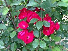 Mama's rose bush