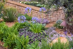 Water garden with waterlilies, waterfall, lavender herb in dry Mediterranean garden, Agapanthus, culinary sage Salvia officnalis, thyme Thymus in bloom, boxwood Buxus, shrubs, Evergreens, Olive tree Olea europea, herbs and flowers interplanted