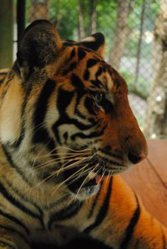 Tiger Sanctuary.   Chiang Mai, Thailand