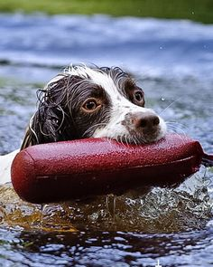 Working spaniel, water retrieve. Springer Spaniel Puppies, English Springer Spaniel, Working Cocker, Working Dogs, Cute Puppies, Cute Dogs, Dogs And Puppies, Chien Springer, Working Spaniel