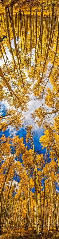 180º View of Aspen trees.
