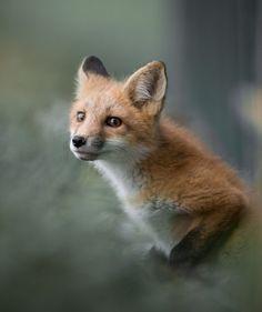 Animals And Pets, Funny Animals, Baby Animals, Cute Animals, Wild Animals, Michael Johnson, Beautiful Creatures, Animals Beautiful, Fox Pups