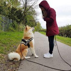 Have you watched my new Video yet? Check my YouTube ✌🐻 動画を更新しました! ユーチューブで私の新しい動画を見てくださいね 😉  #akitayuki #akita #akitainu #akitaclub #japaneseakita #akitasofinstagram #dogsofinstagram #japanesedog #japanese #dog #family #pet #秋田犬 #日本犬 #愛犬 #犬 #家族 #ペット