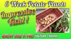 6 Week Potato Plants - Impressive Potato Yield ! Potato Gardening, Gardening Vegetables, Food Photo, Vegetable Garden, My Recipes, Recipe Photos, Potatoes, Youtube, Instagram Posts