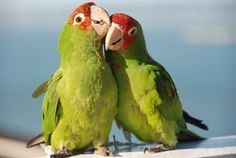 parrots of san francisco telegraph hill - Google Search