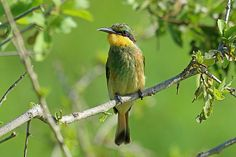 Little Bee-eater, Tarangire, Tanzania | Flickr - Photo Sharing!
