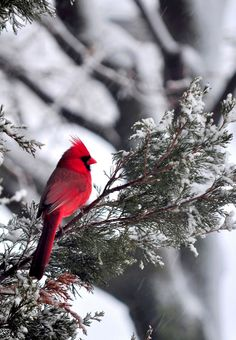 seen through the living room window :) Bird Pictures, Pictures To Paint, Nature Pictures, Viewing Wildlife, Cardinal Birds, Winter Scenery, Backyard Birds, Colorful Birds, Wild Birds