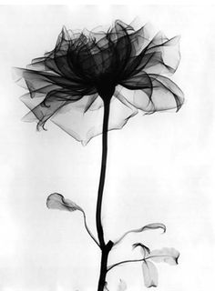 flower x rays and black flowers on pinterest. Black Bedroom Furniture Sets. Home Design Ideas