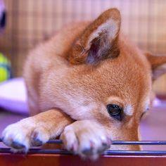 大雨が降ってるワン! お姉たん遅いワン ☔️ うりは寝るワン #instadog #shiba #shibadog #shibainu #shibalove #shibaholics #shibastagram #shibainuofinstagram #dog #dogs #dogstagram #dogsofinstagram #わんダフォ #いぬバカ部 #いぬら部 #赤柴 #柴犬 #日本犬 #グンナイわんナイ