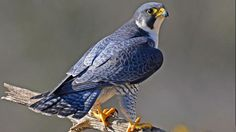 Peregrine falcon by pete blanchard
