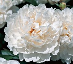 Paeonia White Wicker Strong stems carry two to four buds that open into lightly fragrant, fluffy 6-7in spheres of shimmering, bright white petals. You will enjoy the romantic abundance of these double flowers from your wicker armchair because this gorgeous, compact Klehm hybrid is a landscape Peony and requires little care. Midseason