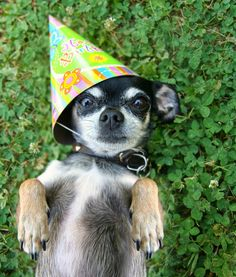big eared chihuahua wearing party hat