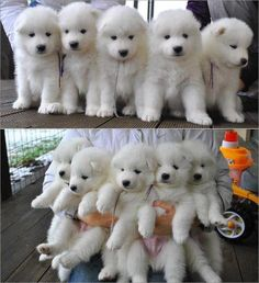 Bouquet of Samoyed puppies!!! My heart literally just skipped a beat! Haha