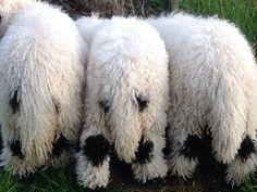 Farm Animals, Animals And Pets, Cute Animals, Wild Animals, Wildlife Photography, Animal Photography, Valais Blacknose Sheep, Cute Sheep, Baby Sheep