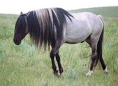 Grulla mustang stallion