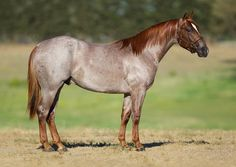 Red roan quarter horse stallion