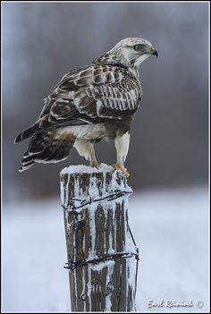 https://flic.kr/p/zkci2K | Blondie on a fence post | A few Rough-legged Hawks from this spring.