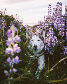 Siberian Husky T-Shirts Cute Animal Pictures, Dog Pictures, Animals And Pets, Cute Animals, Malamute Dog, Foto Pose, Dog Photos, Beautiful Creatures, Animal Photography
