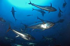 Atlantic Bluefin Tuna, In Natura, Fresh Water, Whale, Fish, Pets, Nature, Painting, Whales