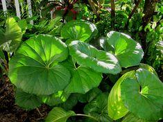 Farfugium gigantium