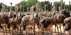 Safari Ostrich Farm is a working ostrich farm in Oudtshoorn which offers ostrich farm tours, restaurant & shopping in the Garden Route, South Africa. South Africa Wildlife, South Africa Tours, Ostriches, Countries Of The World, Cape Town, Safari, Tourism, Places To Visit, Animals