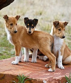 Smooth Coated Collie Puppies - Are they not the cutest?