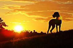 great dane sunset