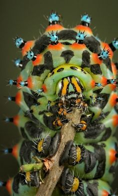 Weirdest Insects - Calleta Silkmoth Caterpillar