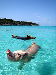 Una isla con cerdos nadadores en Bahamas. En Bahamas hay un área salpicada de 360 islas (cayos) en el distrito de Exuma. En una de ellas, deshabitada, al llegar embarcado hay algo que no termina de encajar: en la playa hay cerdos que al ver acercarse un barco con turistas, se lanzan a nadar y en cierta forma, a dar una simpática bienvenida…