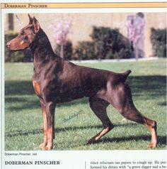 Vintage photo of a Doberman, and a fine specimen. I love the older, more functional style. They just look fit and regal. Hobbit Hole, The Hobbit, American Doberman, Doberman Pinscher, Service Dogs, Working Dogs, Dobby, Dog Grooming, Vintage Photos