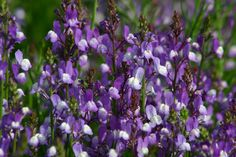 Linaria maroccana, 'Licilia' Series, 'Licilia Azure'- available from Geo, also in mix,peach, rhythm & blues mix (red/violet). Very quick to flower. Blooms in 6 weeks for direct early spring sowing. 2 feet tall. Works well in large containers and bed drifts.