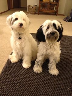 My beautiful Tibetan Terrier babies, Sitka and Tiberius!