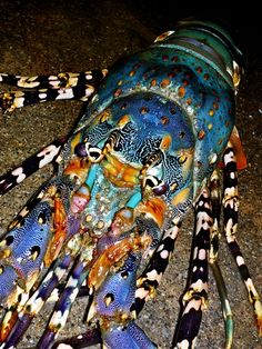 Amazing colors in this Lobster.