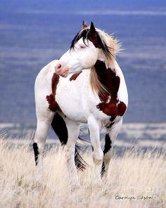 wild california mustangs | Wild Mustang Horses | Beautiful Markings | Horses