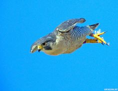 Peregrine Falcon -  The Peregrine is renowned for its speed, reaching over 322 km/h (200 mph) during its characteristic hunting stoop (high speed dive), making it the fastest member of the animal kingdom.