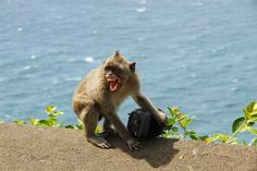 Macaques have learned to steal tourist's possessions and hold them ransom until they're given food. (Video) Unusual Animal Friends, Unusual Animals, Exotic Animals, Hyena, Primates, Exotic Pets, Mafia, Funny Kids, Funny Pictures
