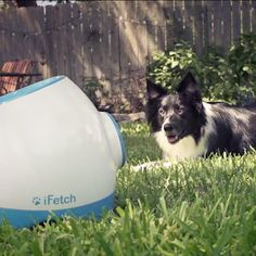 The iFetch Too is designed for bigger dogs to fetch full-size tennis balls. Its even more fetching fun, with more power, more distance, and even a rechargeable battery. Its everything you love about the iFetch, but MORE.  What you'll love about the iFetch Too:  Fun for everyone when you're at home Fun for your dog when you're away Perfect for indoor or outdoor use Durable design for fetch-loving dogs Brings a fun new twist to the game of fetch!  So why should all the little dogs have all the…