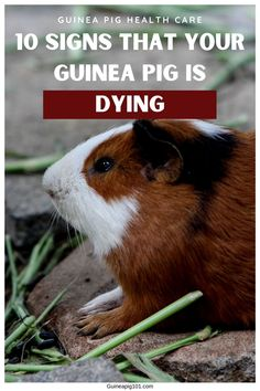 Guinnea Pig, Vet Tech Student, Pig Facts, Guinea Pig Care, Mini Farm, All About Animals, Pet Tips, Homemade Cookies, Pet Lovers