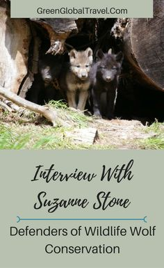 Read about Defenders of Wildlife Wolf Expert Suzanne Stone on U.S. Fish & Wildlife Service Ending Protection for Wolves