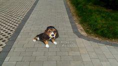 Miss you ... by ~Nikolaj-Arndt on deviantART #beagle #spaniel #dog