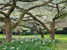 Little Malvern Court Under the wonderful Prunus 'Shirotae' with their white flowers looking towards an amazing hedge.