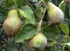 Champion quince trees for sale | Buy online | Friendly advice