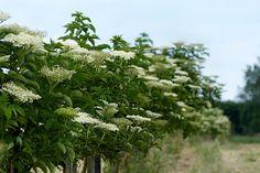 Socul este un arbust care creste la marginea padurilor, pe langa garduri si infloreste din luna mai pana in luna iunie. Parfumate, dar si gustoase, florile de soc sunt o adevarata minune a naturii....