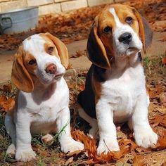Beagle pups!