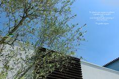 オリーブ シンボルツリー