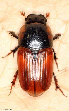 Prehľad fotografie Scarabaeidae (Scarab chrobáky) Nemecko - kerbtier.de