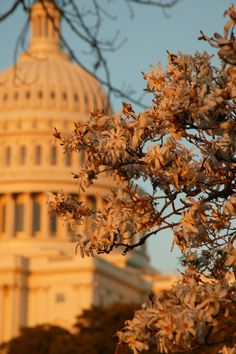 Capitol building in Spring with cherry blossoms, Washington DC| Whysall Photography